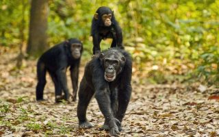 3 Days Gombe Stream Chimpanzee Trekking