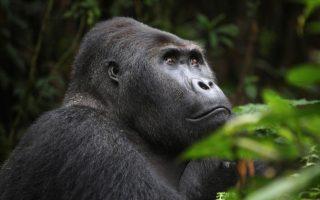 10 Days Rwanda & Congo Combined
