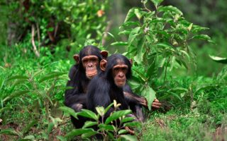 3 Days Rwanda Chimpanzee Trekking Tour