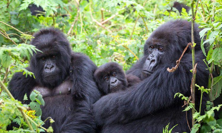 15 Days Uganda and Rwanda tour