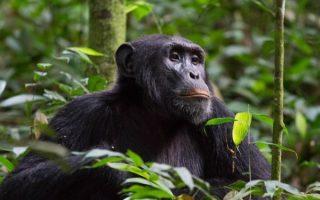 2 Days Nyungwe forest chimpanzee trekking safari