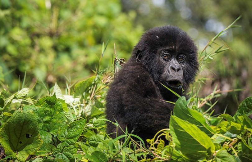 3 Days Virunga Gorilla Tour
